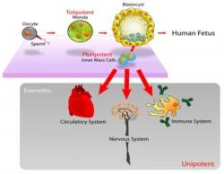 الخلايا الجذعية بينة علمية
